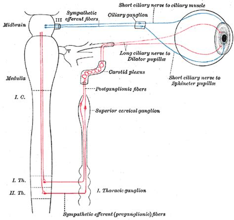 ciliary muscle and trigeminal pain picture 6
