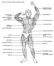 muscle chart picture 10