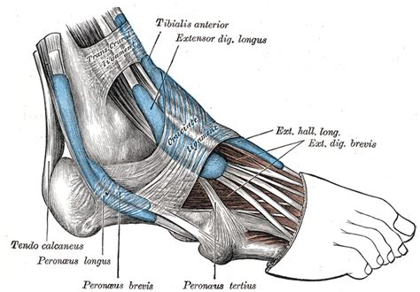 origen and insertion of a muscle definition picture 4