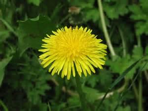 dandelion flower picture 3