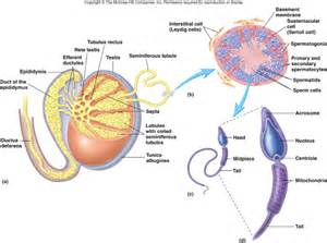 testosterone function in spermatogenesis picture 7