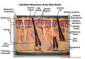structure of the skin models picture 2