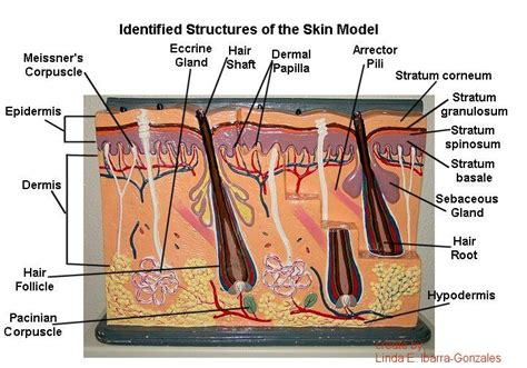 skin models picture 5