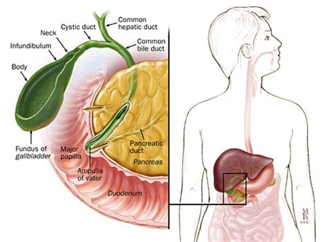 function of human gall bladder picture 19