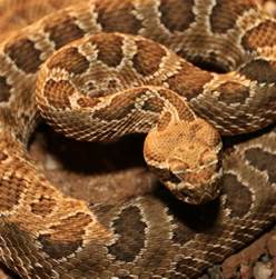 mexican rattlesnake pills bad for you picture 2