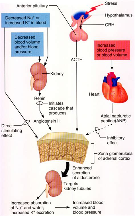 head injury and blood pressure and aldosterone release picture 4