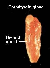 cats parathyroid gland tumor picture 3