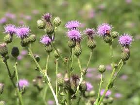 canadian thistle picture 6