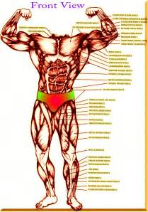 muscle chart picture 11