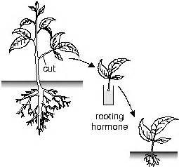 root hormones for sale in the philippines picture 11