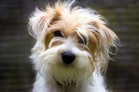 long haired foxterrier picture 3