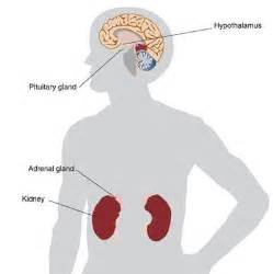 adrenal gland picture 10
