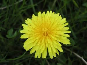 a dandelion picture 7