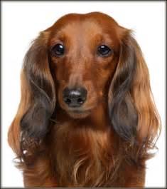 dachshund long hair picture 3