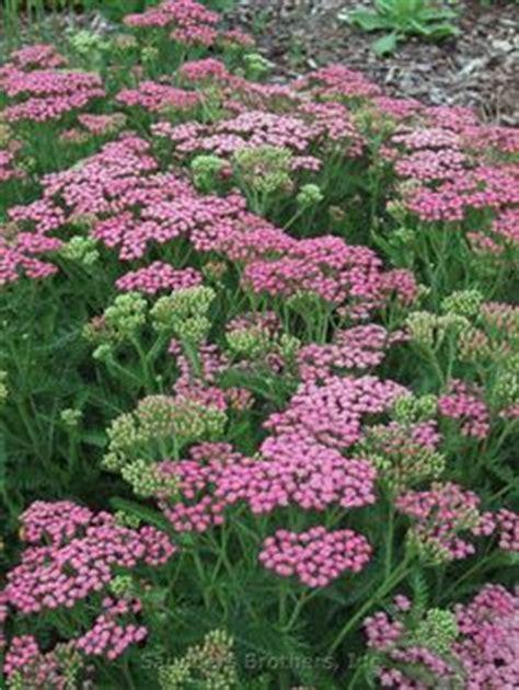 deadhead flowers yarrow picture 3
