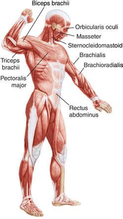 agonist and antagonist muscles list picture 10