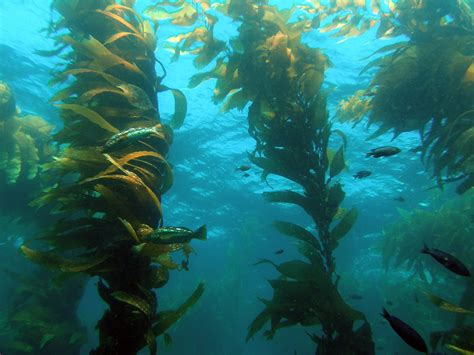 kelp weight loss picture 1
