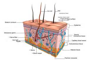 integumentary system skin model picture 1