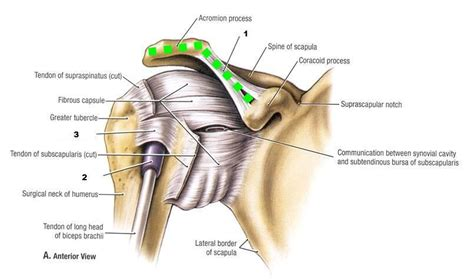 ac joint muscles picture 6