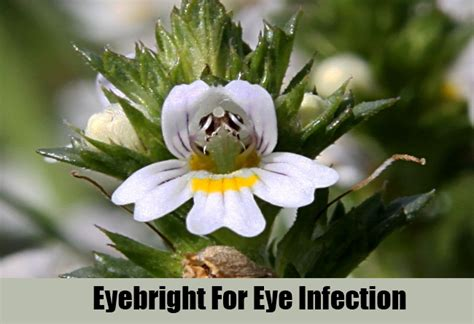 chinese herb for eye infection picture 17