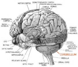 brain parts causing low testosterone picture 3