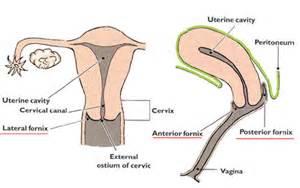 penis penetrating cervix diagram picture 7