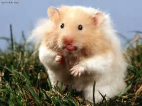 short hair hamsters picture 9