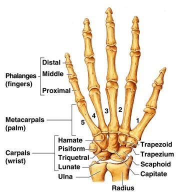 injury proximal phalanges metacarpal phalangeal joint picture 7