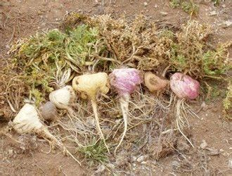 why do some say that maca causes weight picture 4