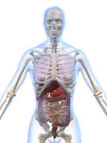 anatomical location of the liver picture 13