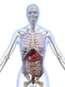 location of the human liver picture 10