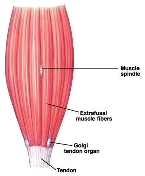are smooth muscle multinucleated and spindled picture 8