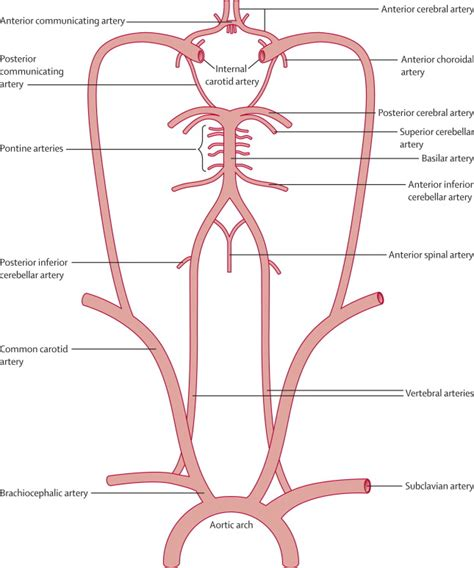 fetal blood and circulation picture 10