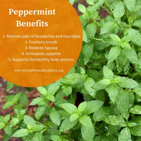 peppermint tea herbal remedies picture 5