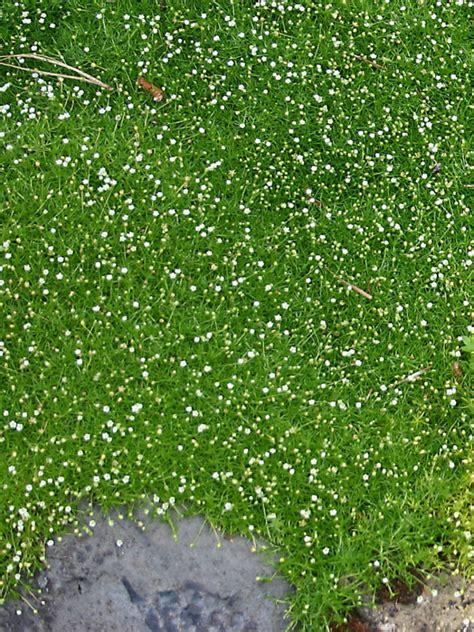 white irish moss picture 17