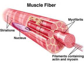 muscle fiber picture 2