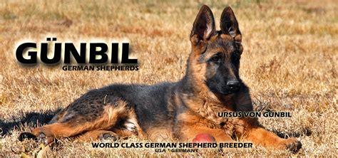 gunbil german shepherds complaints picture 10