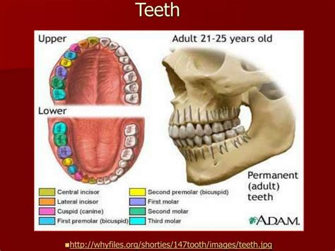 digestion teeth picture 9