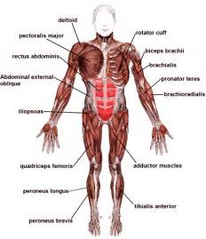 which type of lipo 6 can make muscles picture 1