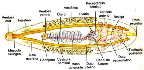 liver fluke life cycle picture 7