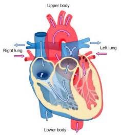 a blood enhancer from the heart to the picture 7