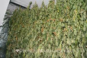 marijuana plant and how to smoke picture 1