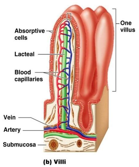 what does intestinal intersial cell produce picture 11