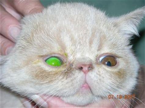 feline herpes picture 15