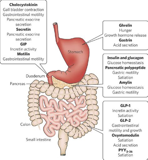 gastrointestinal tract activities picture 2