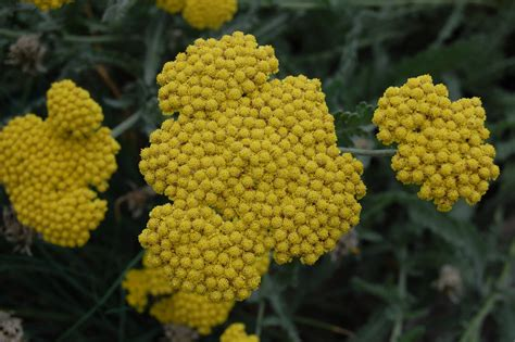 yellow yarrow picture 3