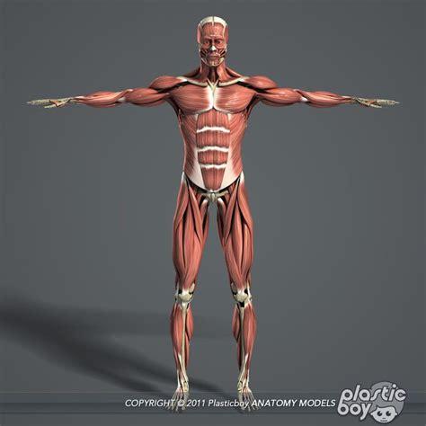 anatomy - muscle man kikkerland picture 13
