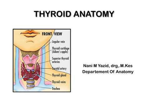 anatomy thyroid picture 17