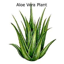 aloe vera gel incoming search terms keywordluv picture 12