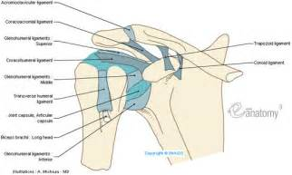 diagram of shoulder joint picture 10